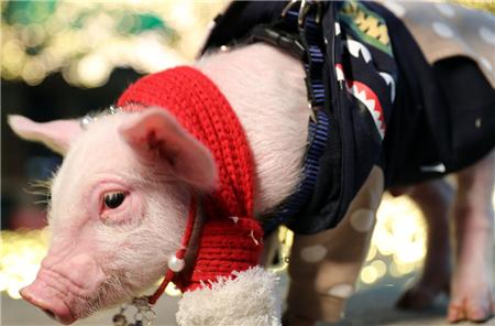 猪只营养不均衡,你知道是原因吗?